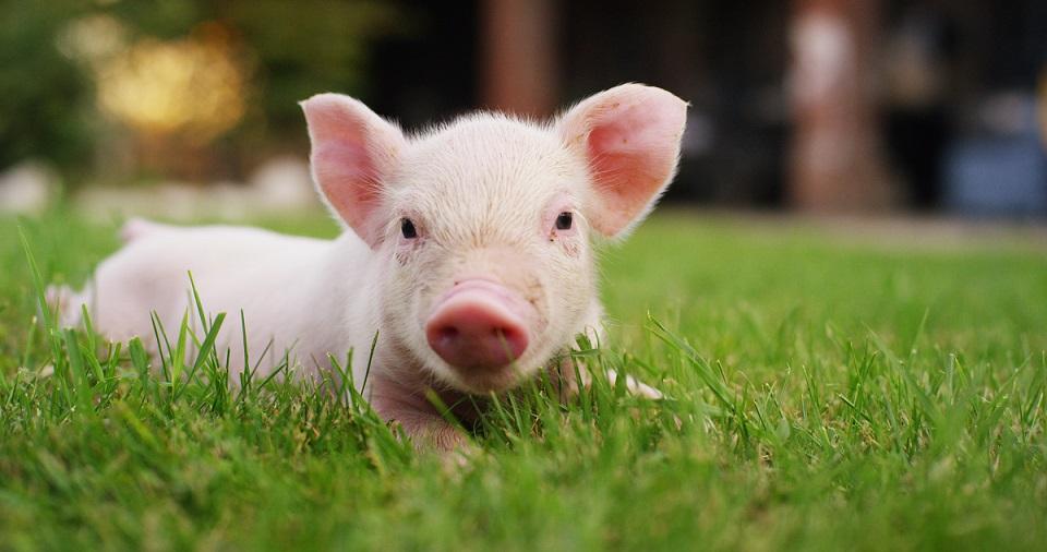 pink pet baby pig