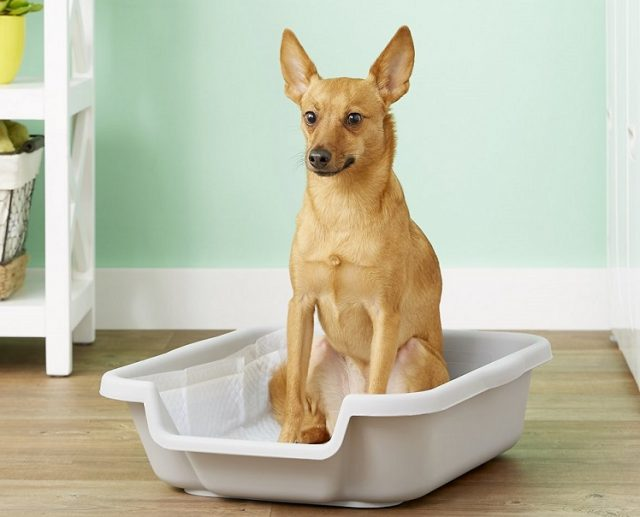 small dog using the toilet