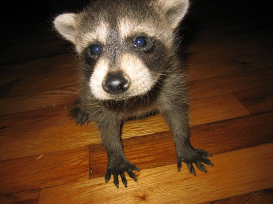 young racoon looking for a pet