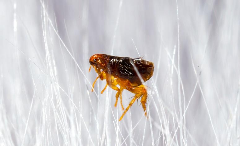 close up macro photo of a flea