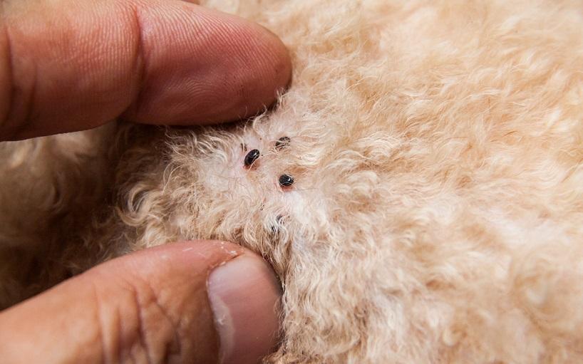 actual fleas on a dogs' fur