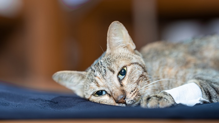 sickly pet cat