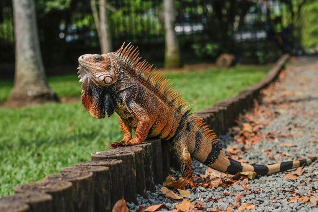 majestic exotic iguana