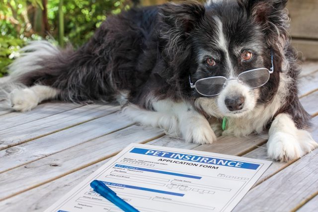 old dog with glasses looking at insurance policy